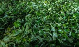 Fresh green tea Royalty Free Stock Photos