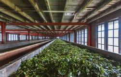 Fresh green tea crop drying on long warm surface inside of tea f Stock Photography