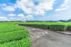 Fresh green tea farm in spring , Row of tea plantations Japanese green tea plantation with blue sky background. In Fuji city ,Shizuoka prefecture, Japan stock image