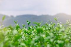 Fresh green tea stock photography