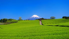 Fresh green tea field of `Imamiya` in Fuji City and Mt. Fuji with blue sky Stock Photo