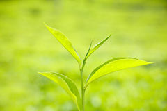 Fresh green tea leaf Stock Photo
