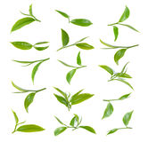 Fresh green tea leaf on a white background Stock Photography
