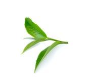 Fresh green tea leaf on white background Stock Image