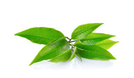 Fresh green tea leaf on white background Royalty Free Stock Image