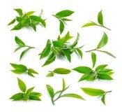 Fresh green tea leaf on white background Stock Photography