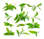 Fresh green tea leaf on white background Royalty Free Stock Photography