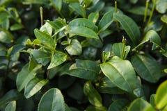 Fresh green tea leaves Royalty Free Stock Image
