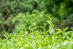 Fresh green tea leaves Royalty Free Stock Photo