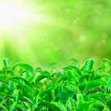 Fresh green tea leaves with sun beams Stock Image