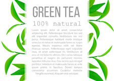 Fresh Green tea leaves and twig poster with description text Royalty Free Stock Images