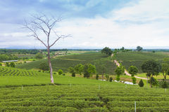 Fresh green tea plantation Stock Image