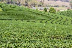 Fresh green tea plantation Royalty Free Stock Photography