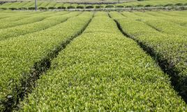 Fresh green tea plantation Stock Image