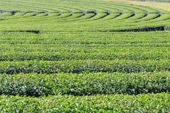 Fresh green tea plantation Stock Photos