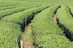 Fresh green tea plantation Stock Photography