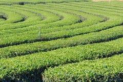 Fresh green tea plantation Royalty Free Stock Photo