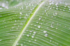 Fresh green textured banana leaf with rain drops with selective focus for natural background close up. Abstract textured green banana leaf and rain drops Stock Image