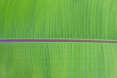 Fresh green textured banana leaf with selective focus for natural background close up. Abstract textured green horizontal banana leaf background Royalty Free Stock Image