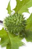 Fresh green thornapple Stock Image