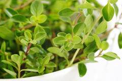 Fresh green thyme Stock Photography