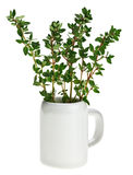 Fresh green thyme bunch in small ceramic noggin Royalty Free Stock Image