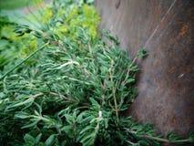 Fresh green thyme royalty free stock photo