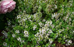 Fresh green thyme herbs with pink flowers growing in the garden stock photography