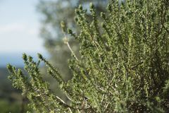 Fresh green thyme Thymus herb growing in the garden.  Royalty Free Stock Images