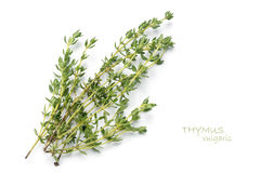 Fresh green thyme, Thymus vulgaris, isolated on white. Fresh green thyme, Thymus vulgaris, isolated on a white background with sample text Stock Photos
