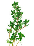 Fresh green thyme twigs Stock Photo