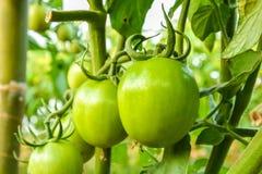 Fresh green tomato a growing Stock Photos
