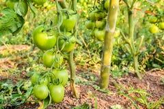 Fresh green tomato a growing Stock Image