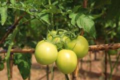 Fresh green tomato on tree Stock Photo