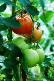 Fresh green tomatoes in the greenhouse Stock Photography