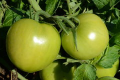 Fresh green tomatoes Stock Image