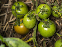 Fresh green tomatoes. Still on the plant, close up Stock Photo