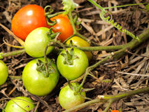 Fresh green tomatoes. Still on the plant, close up Royalty Free Stock Images