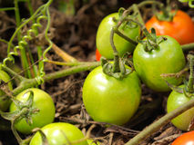 Fresh green tomatoes. Still on the plant, close up Royalty Free Stock Photography