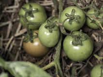 Fresh green tomatoes. Still on the plant, close up with vintage color effect Stock Photography