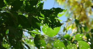 Fresh green tree leaves backlit in front of sky.  stock video footage