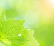 Fresh green tree leaves Stock Photography