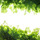 Fresh green tree leaves, square frame Royalty Free Stock Images