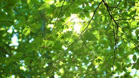 Fresh Green Tree Leaves and Sunlight. Sunbeams in the forest