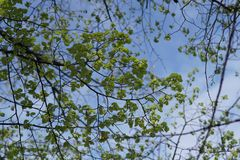 Fresh green tree leaves. Young fresh green tree leaves in sunshine against sky Stock Photos