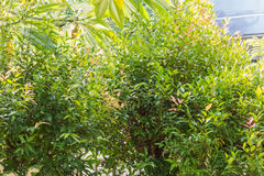 Fresh green tree with rence of home. In garden Royalty Free Stock Image