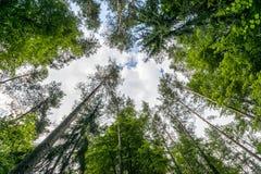 Fresh Green Trees In Puszcza Knyszynska Royalty Free Stock Images