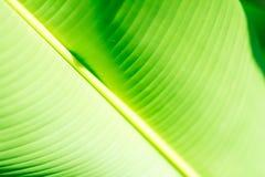 Fresh green tropical banana leaf isolated on white background, path stock photo