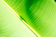 Fresh green tropical banana leaf isolated on white background, path royalty free stock photo