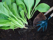 Fresh  green vegetable leaves with gardening tool in home garden Stock Images